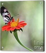 Piano Wings Butterfly Acrylic Print