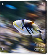 Picasso - Lagoon Triggerfish Rhinecanthus Aculeatus Acrylic Print