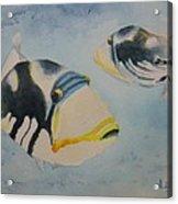 Picasso Triggerfish Acrylic Print