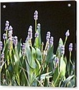 Pickerel Weed Acrylic Print