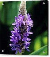 Pickerel Weed Flowers Acrylic Print