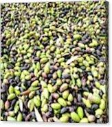 Picking Olives Acrylic Print