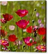 Picture Perfect Poppies Acrylic Print