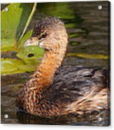 Pied-billed Grebe Acrylic Print