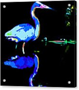 Pied Heron Acrylic Print