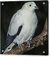 Pied Imperial Pigeon Acrylic Print by Gerald Murray Photography