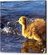 Pied Piper Acrylic Print