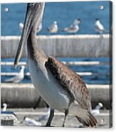 Pier Brown Pelican Acrylic Print
