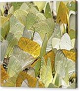 Pierid Butterfly Pieridae Puddling Acrylic Print