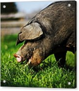 Pig Eating Acrylic Print