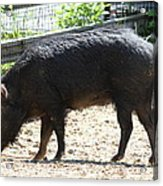 Pig - National Zoo - 01131 Acrylic Print by DC Photographer