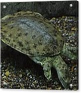 Pig-nosed Turtle Acrylic Print