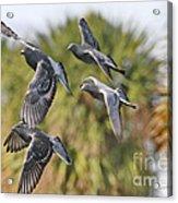 Pigeon Brigade Acrylic Print