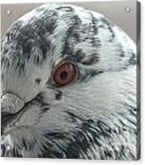 Pigeon Close-up Acrylic Print