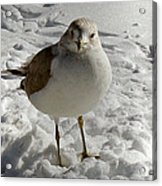 Pigeon In The Snow Acrylic Print