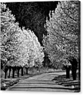 Pigeon Mountain Dogwoods In Black And White Acrylic Print