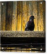 Pigeon On The Balcony Acrylic Print