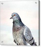 Pigeon Portrait Acrylic Print