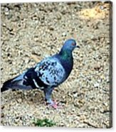 Pigeon Toed Acrylic Print