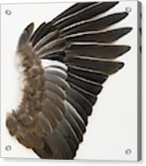 Pigeon Wing Showing Overlapping Feathers Acrylic Print