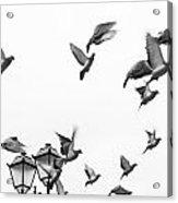 Pigeons In Flight Acrylic Print