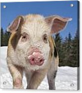 Piglet Walking In The Snow Acrylic Print