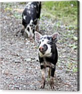 Piglets On The Loose Acrylic Print
