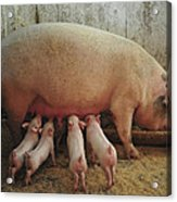 Momma Pig And Piglets Acrylic Print by Terry DeLuco
