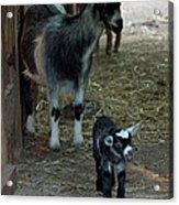 Pigmy Goats Acrylic Print