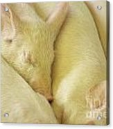 Pigs Sleeping Acrylic Print