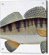 Pike Perch Acrylic Print