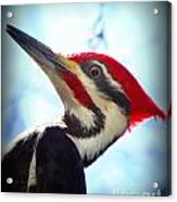 Pileated Close Up Acrylic Print