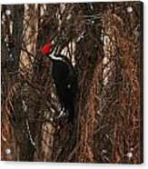 Pileated In Winter Acrylic Print