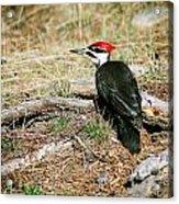 Pileated Woodpecker Forest Floor Acrylic Print