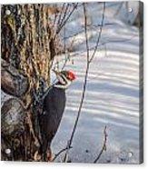 Pileated Woodpecker Winter Acrylic Print