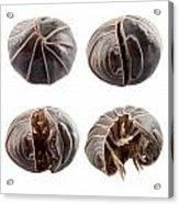 Pill-bug Armadillidium Vulgare Acrylic Print