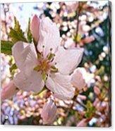 Pin Cherry Blooms Acrylic Print