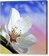 Pin Cherry Swirl Acrylic Print