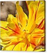 Pin Striped Tulip Acrylic Print