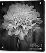 Pincushion Bw Acrylic Print