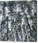 Pine Abstract Acrylic Print