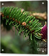 Pine Blossom Acrylic Print