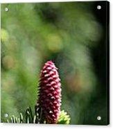 Pine Candle Acrylic Print
