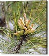 Pine Catkins Acrylic Print