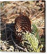 Pine Cone And Small Branch Acrylic Print