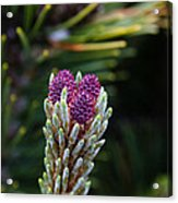 Pine Cone Buds Acrylic Print