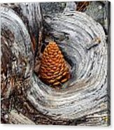 Pine Cone In A Knot  Acrylic Print