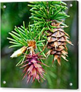 Pine Cone Stages Acrylic Print