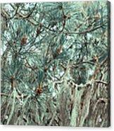 Pine Cones And Lace Lichen Acrylic Print