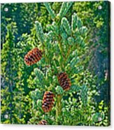 Pine Cones On Spruce Tree In Rancheria Falls Recreation Site-yt Acrylic Print